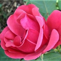 Róża Meirisouru w zbliżeniu .