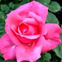 Róża Mullard Jubilee w zbliżeniu .
