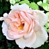 Róża Poulcas 018 Kronprincesse w zbliżeniu.