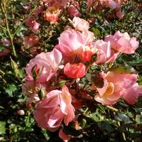 Róża rabatowa