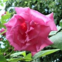 Róża Zephirine Drouchin w zbliżeniu.