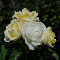 róże potrójne