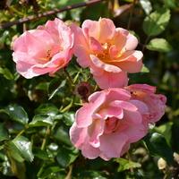 róże różowe