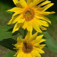 słoneczniki ozdobne