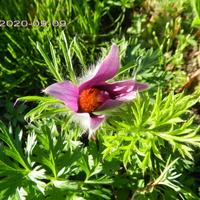Sasanka,drugie kwitnienie