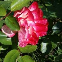 Ulubiona jesienna róża....