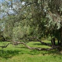 żywe drzewo w parku