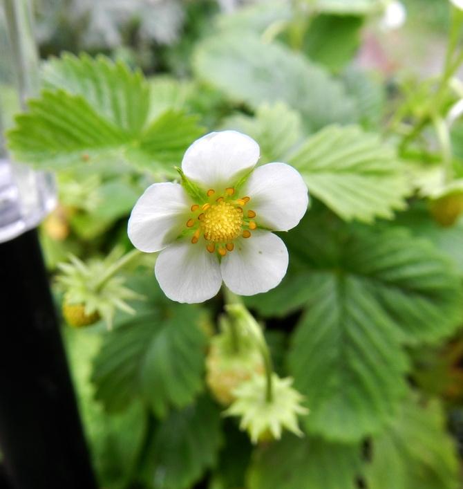 Biały kwiat poziomki