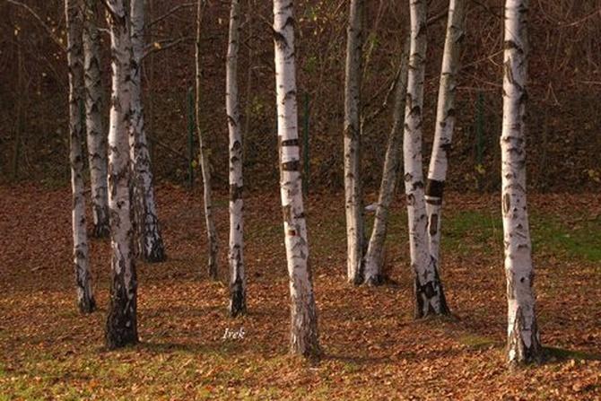 brzozy jesienią w parku