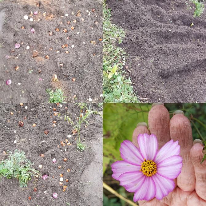 Dziś sadzone cebulowe....