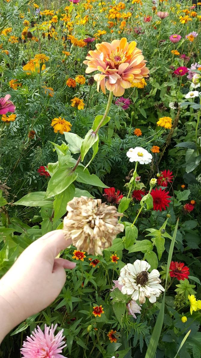 Jak tu nasiona Pozbierać