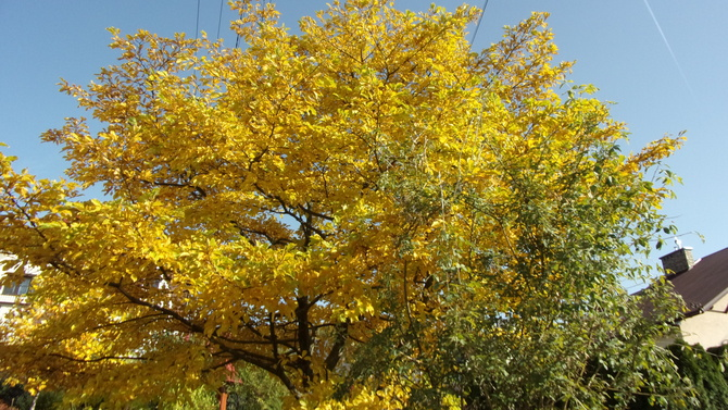 Jesienna magnolia.