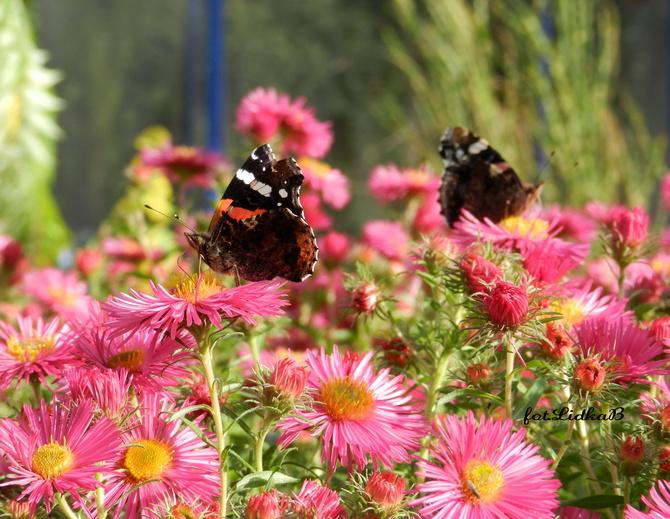 Jesienne astry i motyle