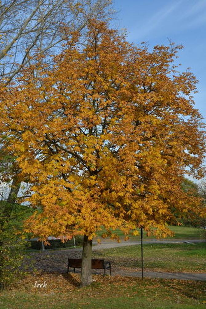 Kasztanowiec jesienny w parku.