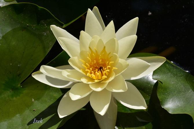 lilia wodna żółtawa