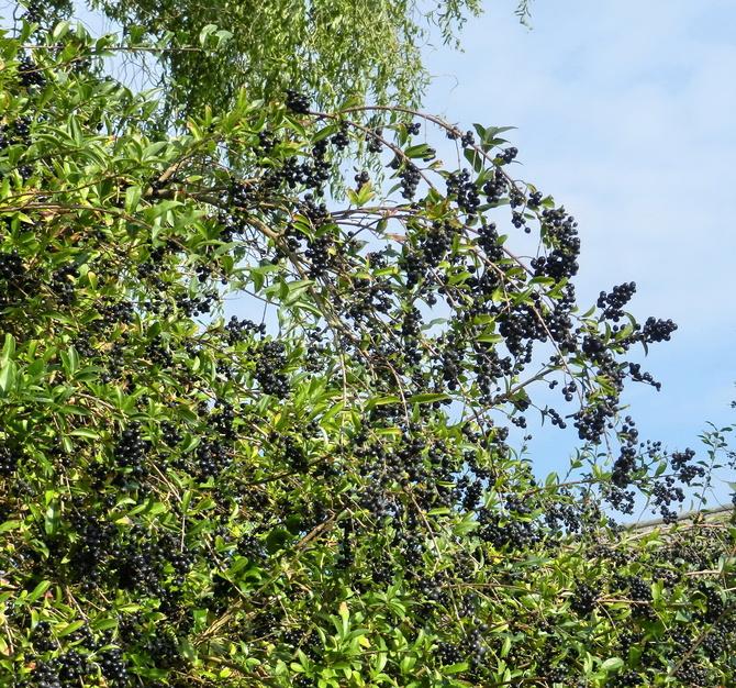 Owoce ligustra pospolitego
