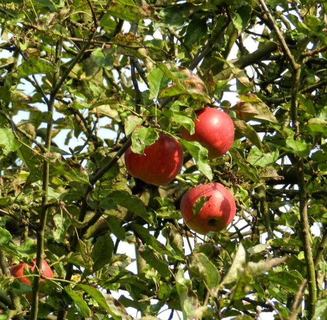 Pierwsze dojrzałe jabłka