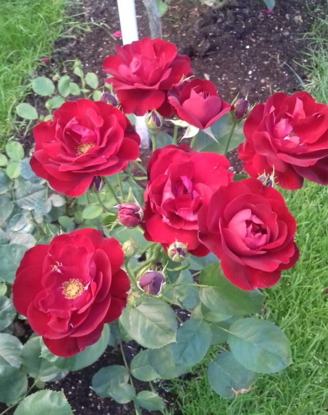 Róża Lilli Marlen
