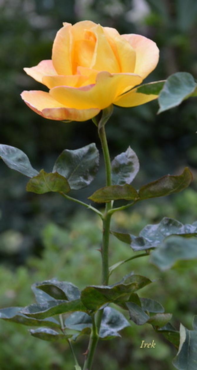Róża na miłe sny