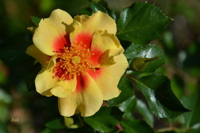 róża w dwóch kolorach