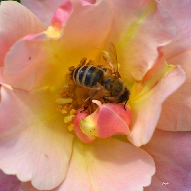 róża, zdj. makro