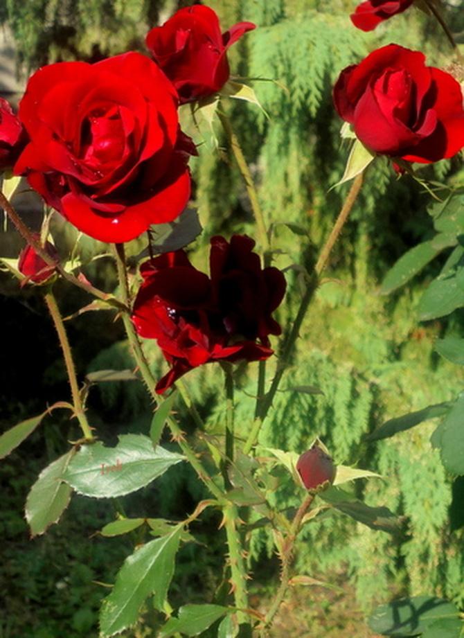 róże w plenerze