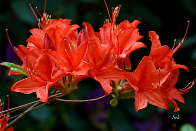 rododendron - azalia