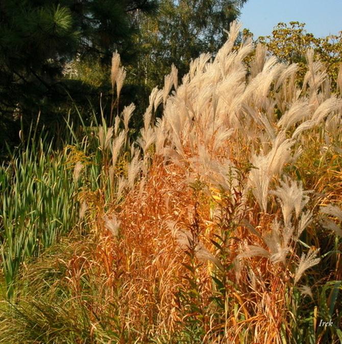 trawa ozdobna, jesienna