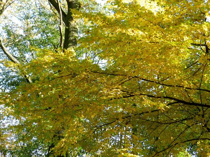 Wiąz,kolory jesieni