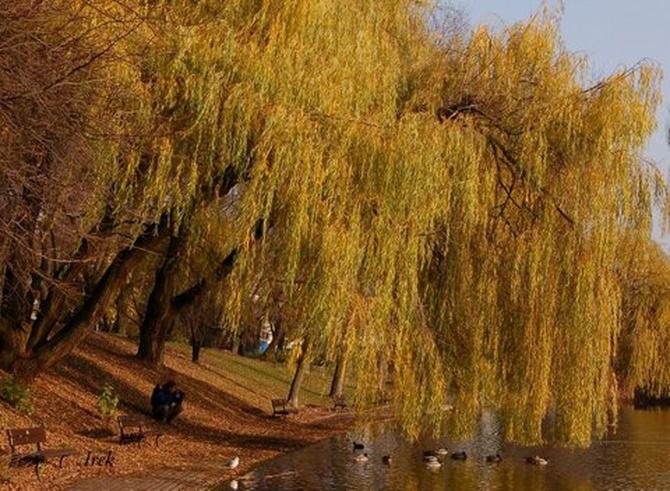 Wierzby płaczące w parku