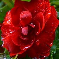 begonia cieszy się z deszczu