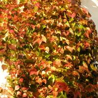 Bluszcz,kolory jesieni