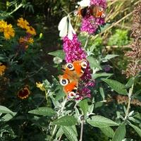 Budleja i motyle....