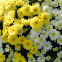 Chryzantema drobnokwiatowa