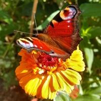Cynia z motylkiem dla Teni :)