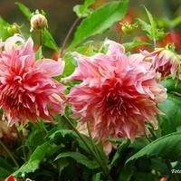 Dalie... kwiaty jesieni