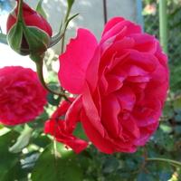 Dla mnie kwitnie w ogródku. . . . . .