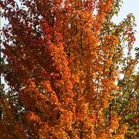 Grusza dzika,kolory jesieni