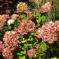 Hortensja bukietowa,kolory jesieni
