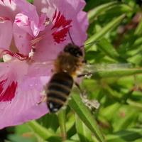 Jeszcze przylatują pracowite pszczółki...