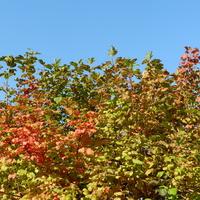 Kalina,kolory jesieni