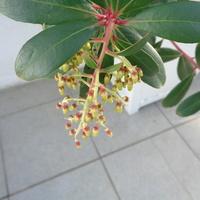 Kiść kwiatowa Arbutusa w zbliżeniu .