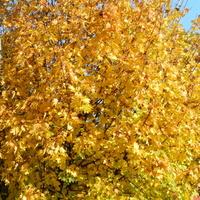Klon,kolory jesieni