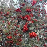 Jarzębina-Kolory jesieni