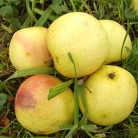 Komu jabłuszko ,komu....