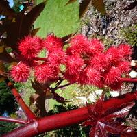 Kwiaty jeżyki rącznika / rycynowca / w zbliżeniu .