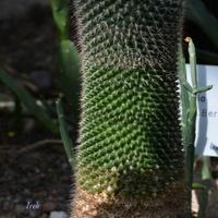 Kwitnący kaktus w ogr. botanicznym