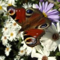 Michałki i motylki w ilościach hurtowych.