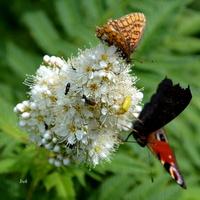 motyle na białym kwiatku
