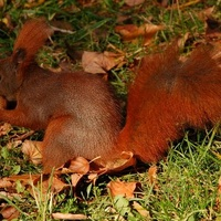 Oswojona wiewiórka w parku